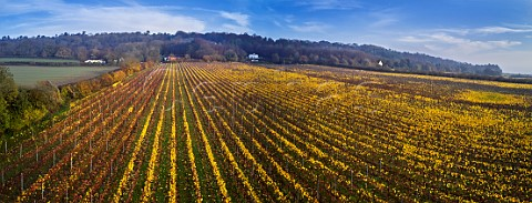 Autumnal Chardonnay vineyard of Squerryes Estate at the foot of the North Downs  Westerham Kent England