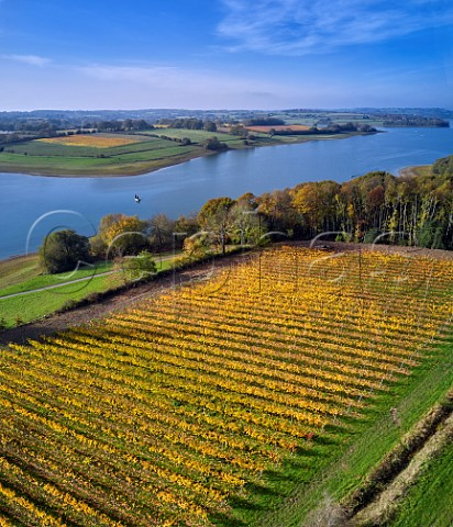 Pinot Noir Vineyard at Rosemary Farm a grower for Chapel Down with Bewl Water beyond  On the far side is Hazelhurst Farm Vineyard of Roebuck Estates Wadhurst Sussex England