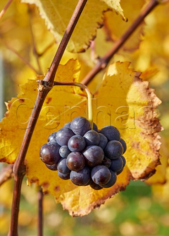 Second set Pinot Noir grapes at Rosemary Farm Vineyard a grower for Chapel Down  Wadhurst Sussex England