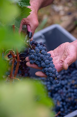 Picking Cabernet Sauvignon grapes in vineyard of Chteau Biac Langoiran Gironde France  Bordeaux